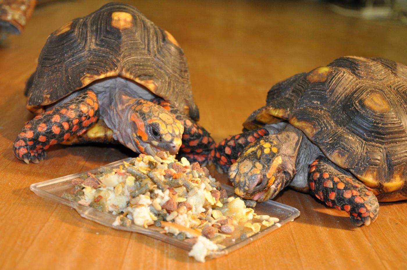 Чем кормить сухопутных черепах в домашних условиях зимой